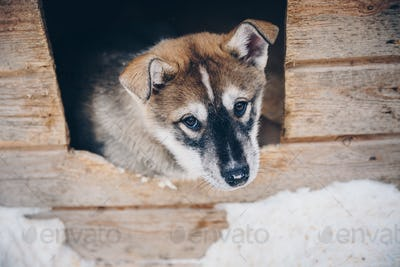 Siberian Husky puppy dog in snow winter Finland, Lapland
