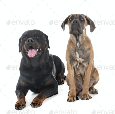 puppy italian mastiff and rottweiler