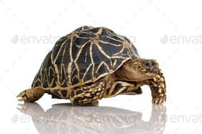 Indian Starred Tortoise - Geochelone elegans
