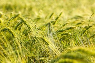Summer background green wheat ears in sunlight