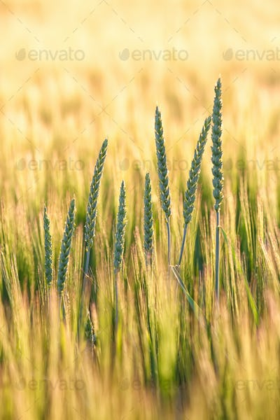 Summer background golden wheat ears in sunlight