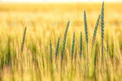 Summer background golden wheat ears in sunlight.