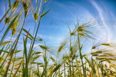 Green wheat field with blue sky in background