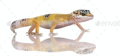 Young Leopard gecko - Eublepharis macularius