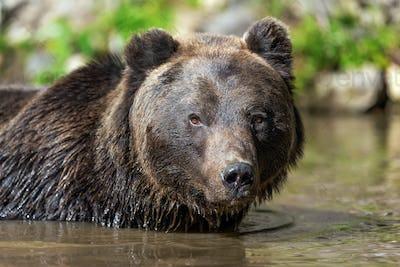 Bear (Ursus arctos) in lake