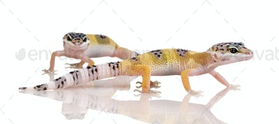 couple of Young Leopard gecko - Eublepharis macularius