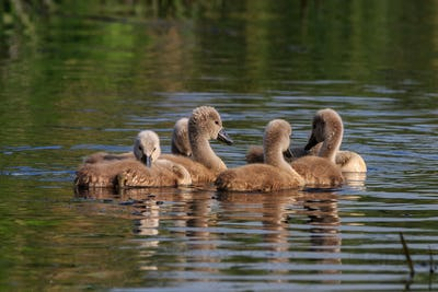 swan chicks on the lake