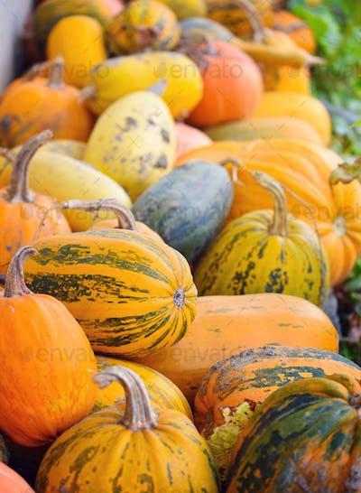 Harvest pumpkins. Different varieties of squashes and pumpkins