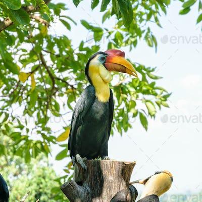 Sunda Wrinkled Hornbill in Thailand