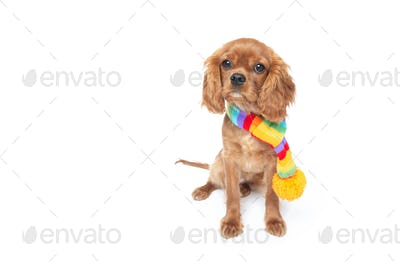 Puppy in the colorful scarf isolated on white
