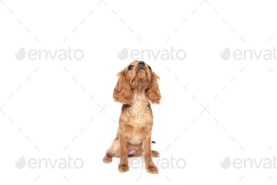 Puppy of king charles cavalier spaniel looking up isolated on white