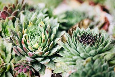 Sempervivum in nature