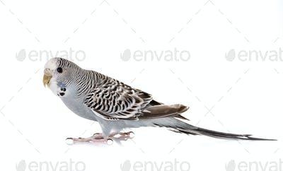 Budgerigar in studio