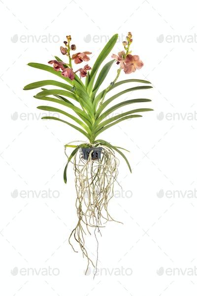 Vanda orchid in studio