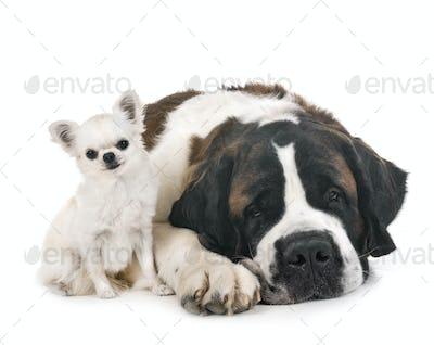 saint bernard and chihuahua