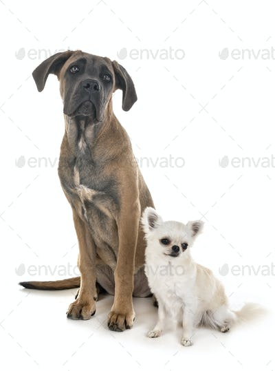 puppy italian mastiff and chihuahua