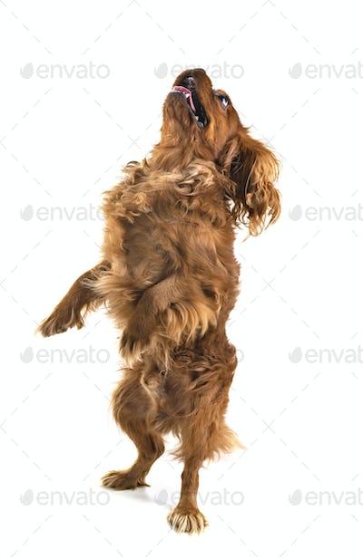 playing dog in studio