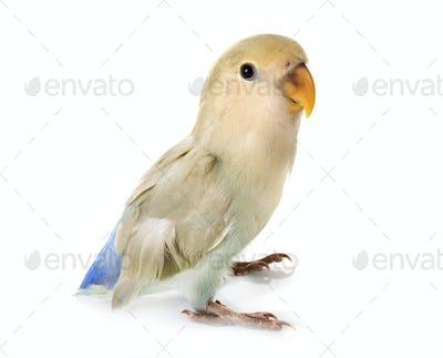 Lovebird in studio