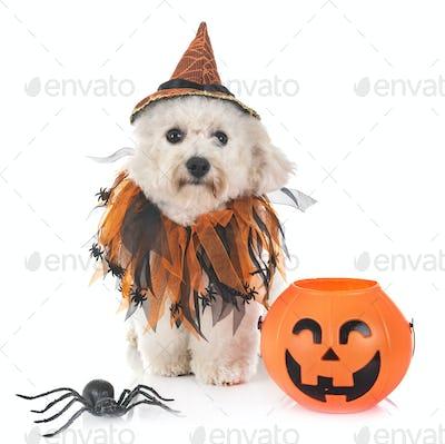 maltese dog and halloween