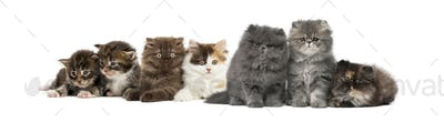 Highland straight and fold kittens, Maine coon kittens, Persian kittens