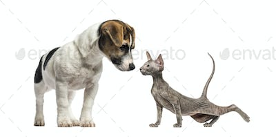 Puppy Jack Russell Terrier, Peterbald kitten, in front of white background