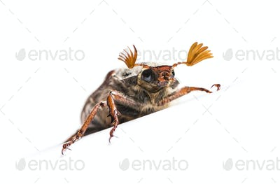 Summer chafer or European june beetle, Amphimallon solstitiale, in front of white background