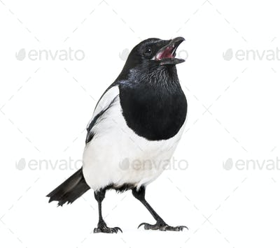 Common Magpie, Pica pica, in front of white background