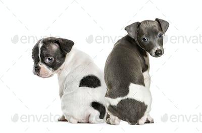 Boston terrier, Italian Greyhound puppy, in front of white background