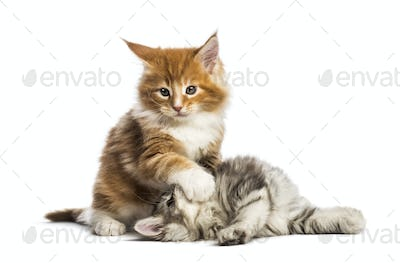 Maine coon kittens, 8 weeks old, play fighting together, in front of white background
