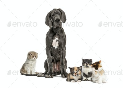 Great Dane sitting and group of cats