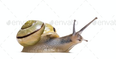 grove snail or brown-lipped snail, Cepaea nemoralis, in front of white background