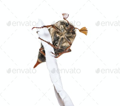 Summer chafer or European june beetle, Amphimallon solstitiale, holding torn paper