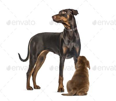 Doberman Pinscher, Labrador Retriever Puppy looking up, in front of white background