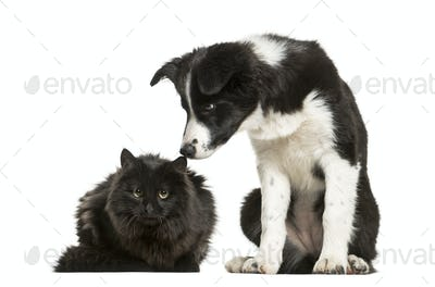 Border Collie puppy and black cat sitting together against white background