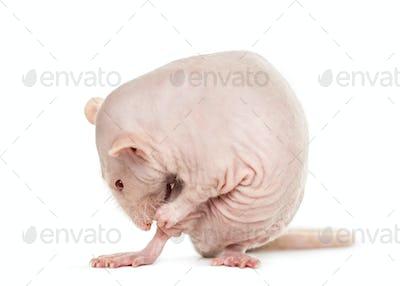 Hairless rat washes, isolated on white