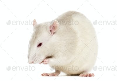 Rat (6 months old), isolated on white