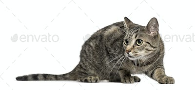 Attentive european cat, isolated on white
