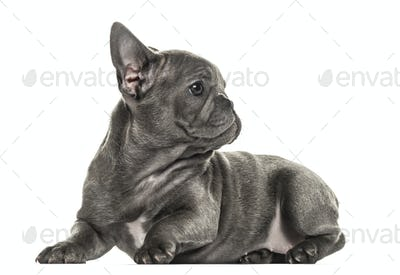 French bulldog puppy looking backwards, isolated on white
