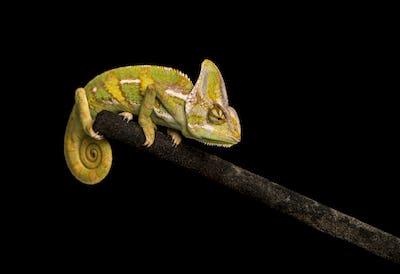 Veiled chameleon on black background