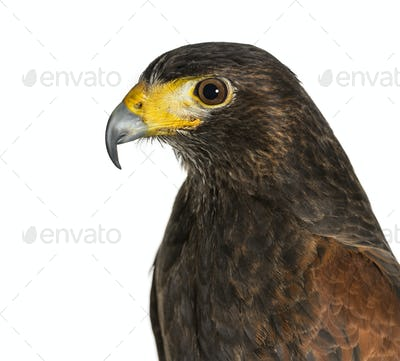 Profile of Harris's hawk, Parabuteo unicinctus, against white background