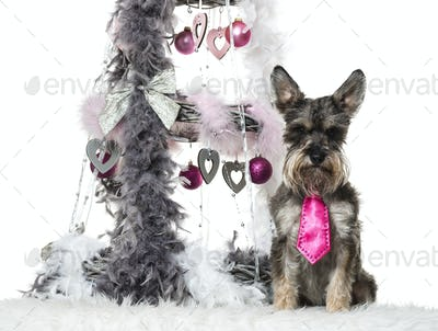Schnauzer sitting next to Christmas decoration against white background