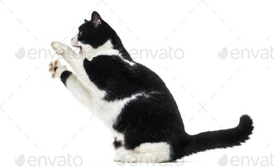 Mixed breed cat rearing up against white background