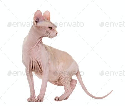 Sphynx, 4 years old against white background