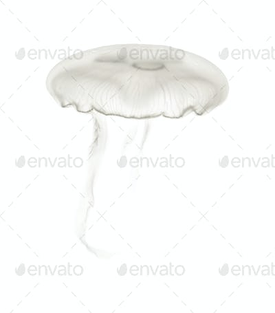 Aurelia aurita also called the common jellyfish against white background