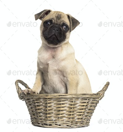 Pug sitting in a wicker basket, isolated on white