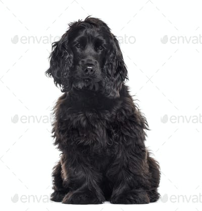 Cocker Spaniel Breed dog