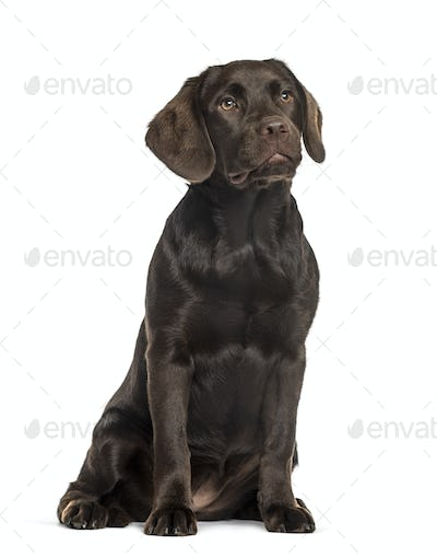 Labrador sitting, isolated on white