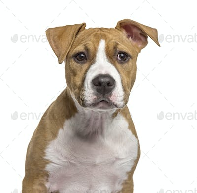 Close-up of an American Staffordshire Terrier puppy, isolated on white