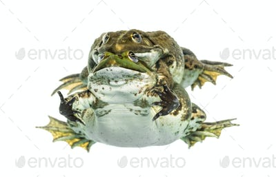 Male and female frog copulating, isolated on white