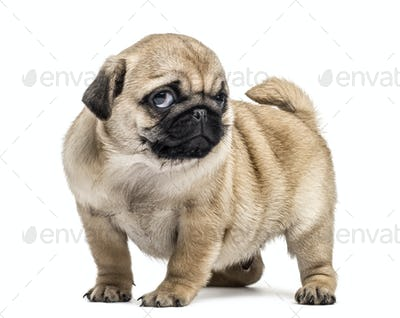 Pug puppy standing, isolated on white